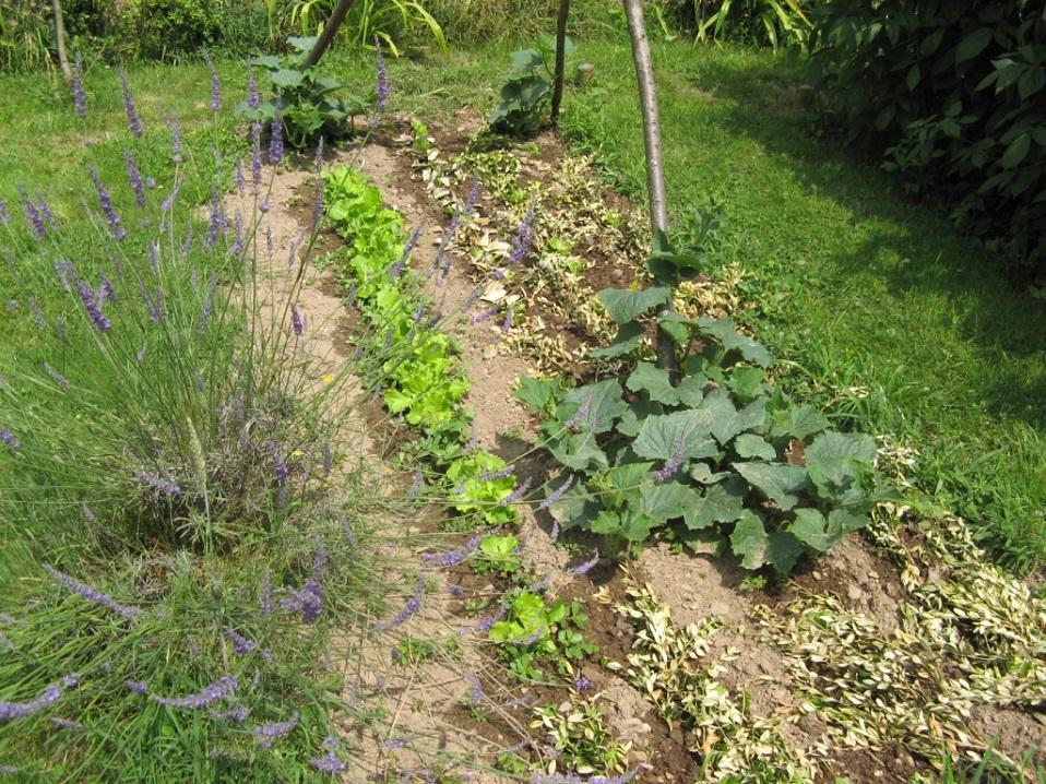 Concombres et salades