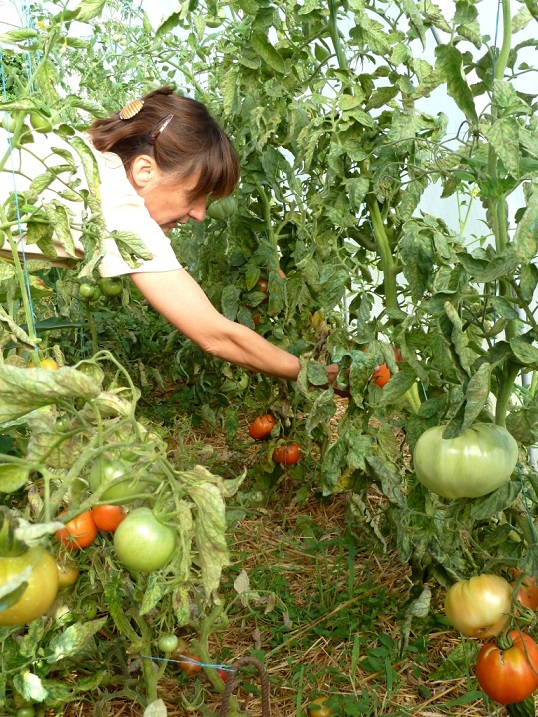 Cueillette des légumes