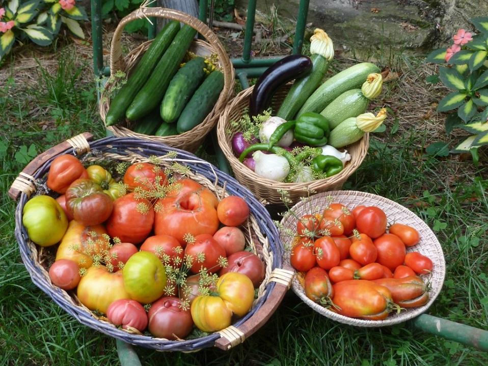 Légumes récoltés