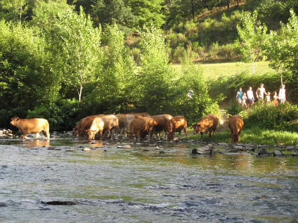 Het verzamelen van koeien