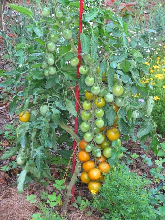Tomates raisin vert