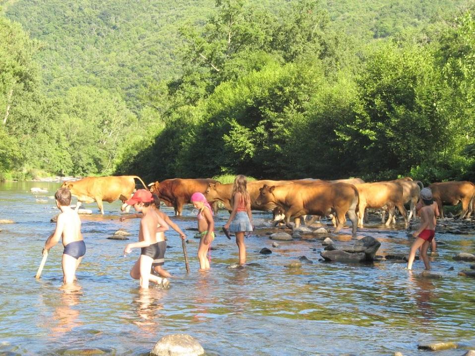 Koeien oversteken van de rivier